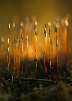 Polytrichum sp. by Nitrok on DeviantArt