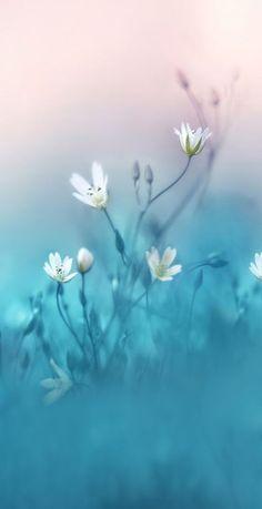 Blue Wallpaper iPhone : Fragile white flower close up Blue Wallpaper Iphone, Black Wallpaper, Flower Wallpaper, Nature Wallpaper, Wallpaper Plants, Beautiful Flowers Wallpapers, Pretty Wallpapers, Flower Backgrounds, Wallpaper Backgrounds
