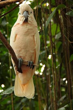 Looks like a Molaccan Cockatoo from Indonesia-they have peachy colored feathers