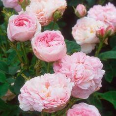 Duchesse de Montebello (1824) - Prior to Roses (bloeitijd juli-oktober - 150 cm.).