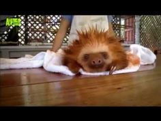 Cutest Sloth Video (Don't Worry, Be Happy)