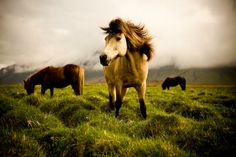 Icelandic Ponies by Martin Sundberg