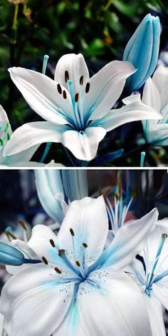 US$2.59 50Pcs Blue Heart Lily Seeds Potted Plant Bonsai Lily Flower Seeds For Home Garden