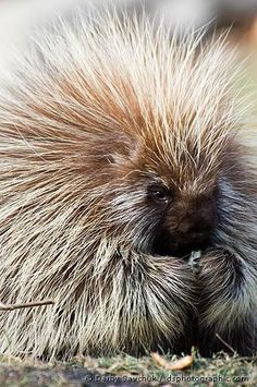 Porcupine: looks so cute and fluffy but watch out or you'll get the needles!
