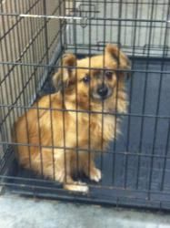 Duke is an adoptable Papillon Dog in Pikeville, KY. Adoption fee is $50! This fee covers spay/ neuter ,first set of shots, first de-worming, Pike County dog tag.The shelter is open Tuesday-Saturday fr...