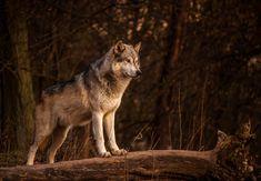Timber Wolf by JoelAJD.deviantart.com on @deviantART