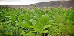 ΓΝΩΜΗ ΚΙΛΚΙΣ ΠΑΙΟΝΙΑΣ: Πληρωμή της δράσης 1.4. «Αμειψισπορά με ξηρικές κα... Indoor Flowers, Organic Seeds, Calendula, Herbs, Plants, Image, Ukraine, Life