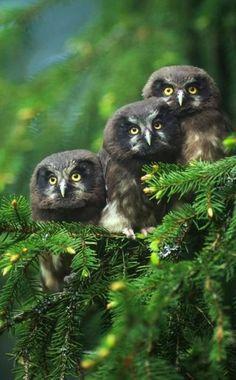 The Black Barn Owl.