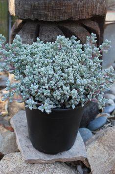 11 Best Cold Hardy Succulents (and a Bonus Tip!) | Sublime Succulents