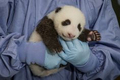 Few things are cuter than the 45 day old panda at the San Diego Zoo.
