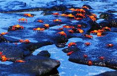 Orange Crabs in the Galapagos Islands (© Gary Cralle/The Image Bank/Getty Images)