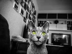 Russian Blue Cats Kittens Robert Emmerich - 68 BW Ara Pacis the Russian Blue cat as Model in Berin - Germany Cat Entertainment, Beautiful Kittens, Cat Pose, Curious Cat, Little Kitty, Feral Cats, Russian Blue, Cats And Kittens, Kitty Cats