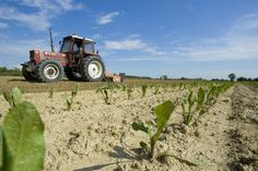 Radicchio Rosso Tardivo IGP #campi #agricoltura #piantumazione