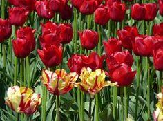 http://www.cultivando.com.br/plantas_detalhes/tulipa.html  Nome popular: Tulipa.  Nome científico: Tulipa hybrida Hort.  Família: Liliaceae.  Origem: zonas temperadas da Europa e Ásia.