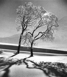 Tree in snow, near Saint-Mortiz, Switzerland, 1947