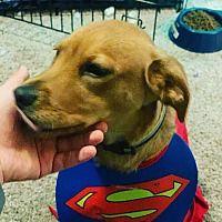 Orlando Florida Beagle Meet Roxas A For Adoption Https Www Adoptapet Com Pet 27715906 Orlando Florida Beagle In 2020 Pet Adoption Puppy Adoption Dog Adoption