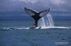 http://www.lesbaleines.net/loisirs/fonds-ecran/baleine-a-bosse.php