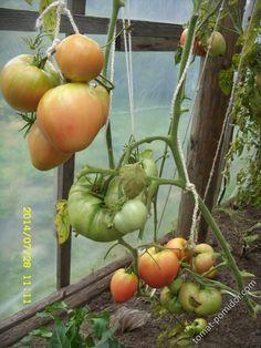 Форум - выращивание томатов, огород, дача - Розовый мед