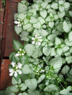 Lamium White Nancy  --- Lamiums make fine groundcovers under trees, either deciduous or limbed-up evergreens like cedars. But they can struggle in hot, humid climates. The only two I've found to grow well are White Nancy & Orchid Frost.