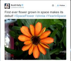 the-errant-mycorrhizae:  First flower ever grown in space bloomed today!