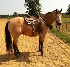 Image result for quarter horse buckskin