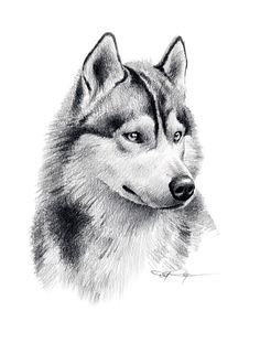 Husky siberiano dibujos - Imagui
