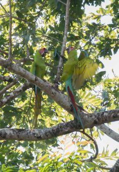 Great Green macaws in Tortuguero, Costa Rica