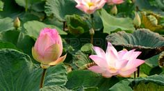 Picture of Pink Lotus, Nelumbo nuclfera Gaertn. stock photo, images and stock photography. Pink Lotus, Stock Photos, Plants, Image, Photography, Photograph, Fotografie, Photoshoot, Plant