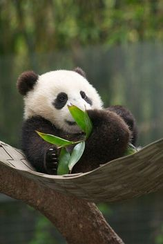 Hammock for baby panda @Planet Earth