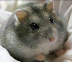 Djungarian Hamster | Djungarian-Hamster.jpg