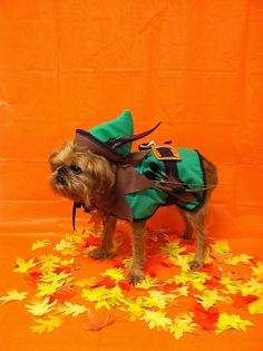 Walter the Brussels Griffon at Halloween Play Date at Andrea Arden Dog Training 2011.