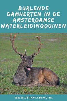 Oktober is de maand om de burlende damherten in de Amsterdamse Waterleidingduinen te spotten, een geweldig spektakel met veel lawaai en gevechten tussen de damherten om in het gevlei te komen bij de hindes. In deze blog lees je meer over de burltijd. Lees en geniet mee. #awd #amsterdamsewaterleidingduinen #damherten #burlen #jtravelblog #jtravel