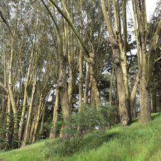 The Presidio, a beautiful park and former military base on the northern tip of the San Francisco Peninsula.  This is a eucalyptus forest, which is verdant and heavenly scented.