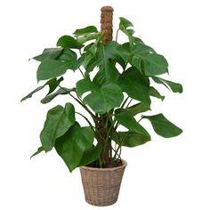 """Philodendron """"Monstera deliciosa"""". Dépolluant. Philodendron Monstera, Monstera Deliciosa, Nature, Plants, Sun, Gardens, Courtyard Gardens, Flowers, Tropical"""