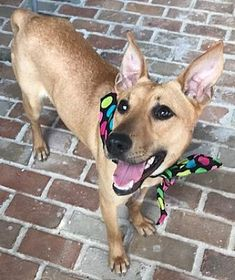 Pictures of A - AVA a Shepherd (Unknown Type) for adoption in Stamford, CT who needs a loving home.
