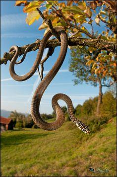 Hierophis viridiflavus-juvenile by shunkamanitotanka Les Reptiles, Reptiles And Amphibians, Mammals, Pretty Snakes, Beautiful Snakes, Geckos, Snake Venom, King Cobra, Baboon