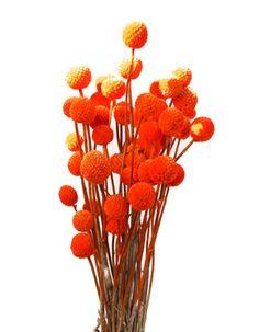 Orange billy buttons. $12.99