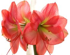 bulb flowers | Grow, Give, and Display this Flamboyant Flower