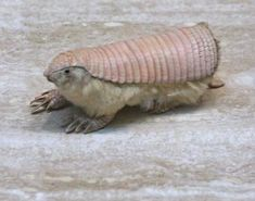 The pink fairy armadillo (Chlamyphorus truncatus) which is also known as the Pichiciego is the smallest species of armadillo known. This particular species of armadillo generally ranges between 90-115 mm in length, excluding its tail, and will weigh less than a pound. Similarly, this is the only species of armadillo that has its dorsal shell almost completely separate from its body.