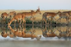 Late last year, news trickled in about the horrific mass dying of the saiga antelopes of central Kazakhstan, of which it has been estimated that over 200,000 of the animals dropped dead over a matter of days, with scenes of entire herds of the antelope, made up of mothers with calves, littering the landscape. What caused this sudden widespread mortality initially baffled biologists and zoologists who struggled to find the culprit.