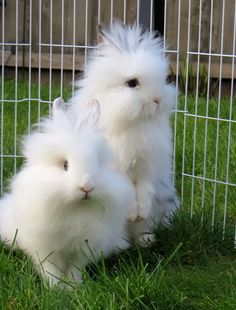 Twin Angoras: Never Pull Their Fur Out, It's Extremely Painful!