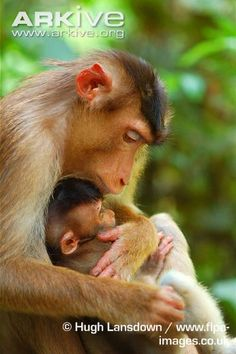Pig-tailed Macaque mom and her baby