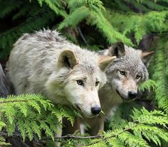 """beautiful-wildlife: """" Grey Wolves by Dr P. Marazzi """""""