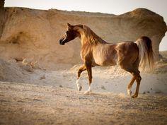 Sabino arabian horse