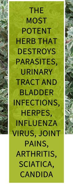 The Most Potent Herb That Destroys Parasites, Urinary Tract and Bladder Infections, Herpes, Influenza Virus, Joint Pains, Arthritis, Sciatica, Candida Health Benefits, Health Tips, Health And Wellness, Health Care, Herbal Cure, Herbal Remedies, Home Remedies, Natural Remedies For Heartburn, Natural Teething Remedies