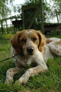 Dog - Brittany Spaniel - Estoun on www.yummypets.com