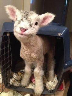 Baby lamb. So precious.