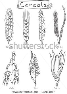 Different cereal grains - shutterstock - for homeschool grains study.  Coloring sheet