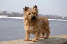 Discover purebred Cairn Terrier puppies for sale near you. Cairn Terrier puppies make tremendous family pets, particularly for young kids. Little Dogs, Big Dogs, Small Dogs, Dogs And Puppies, Cairn Terrier Puppies, Terrier Breeds, Cairns, Hypoallergenic Dog Breed, Puppy Images