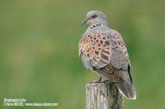 European Turtle Dove Turtle Dove, Birds, Nature, Animals, Naturaleza, Animales, Animaux, Bird, Animal
